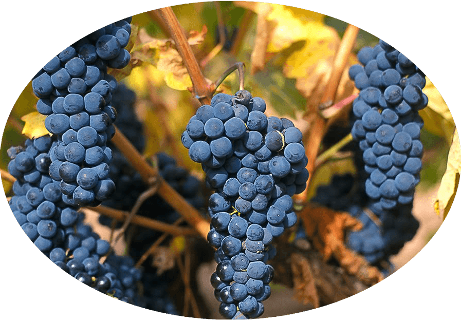 Lion Mill Vineyards - Grape Variety